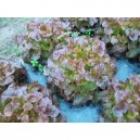 Feuille de chêne brune (agriculture raisonnée)